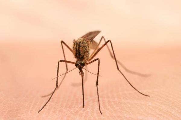 ¿Por qué los mosquitos pican a algunas personas más que a otras? ¿Por qué los mosquitos pican a algunas personas y no a otras?