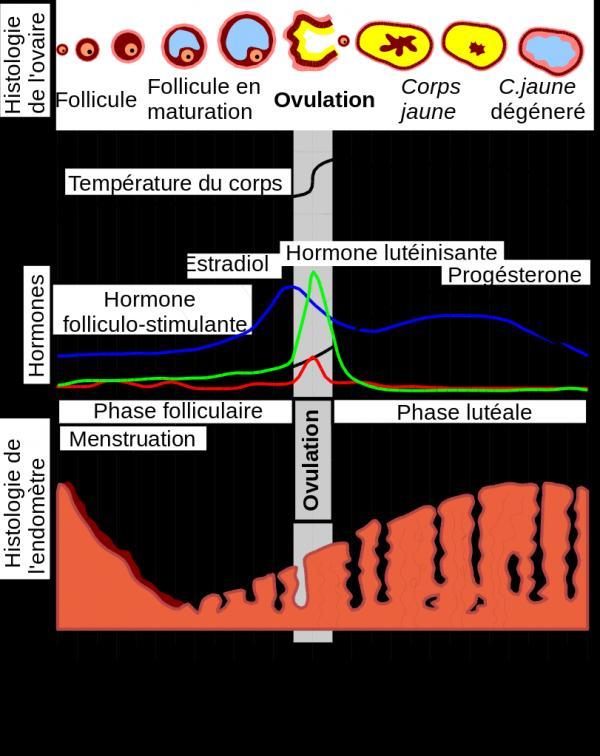 Por qué se hincha el vientre durante la menstruación - PMS - Las hormonas involucradas